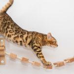 Fifficats Bengalenzucht Lovely Tigers Bengalenkatzen
